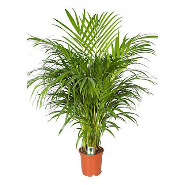 Send areca palm indoor plant flower gifts to dubai with for Pictures of areca palm plants