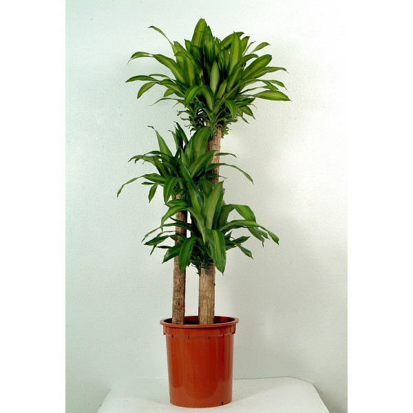 Send massangeana indoor plant flower gifts to dubai with flowers dubai holland flowers uae - Indoor plant name ...