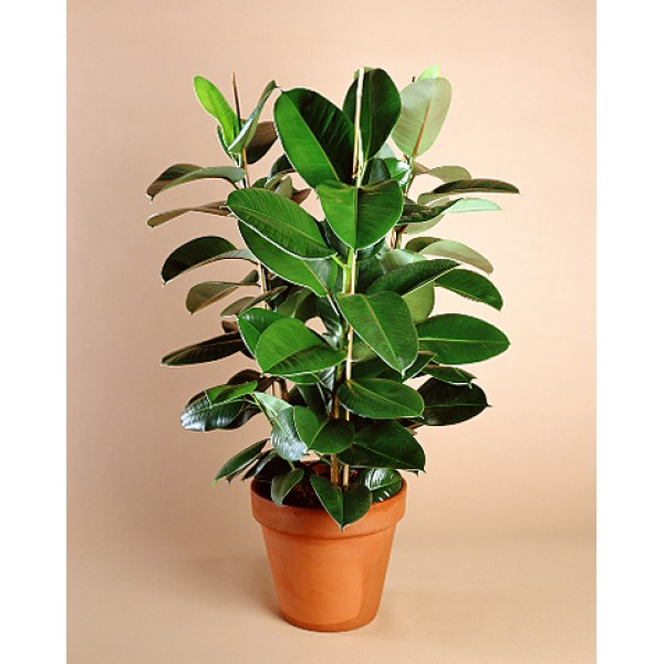 Send Rubber tree Indoor Plants Flower Gifts to Dubai with Flowers ...