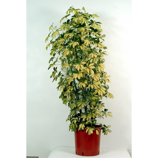 send schefflera gold indoor plant flower gifts to dubai with flowers dubai holland flowers uae. Black Bedroom Furniture Sets. Home Design Ideas