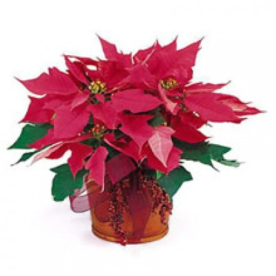 Pink Poinsettia Plant